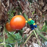 Craig having to work a bit harder to reach the bigger tomatoes!