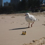 Resting on the sand... unaware of the curious seagull!